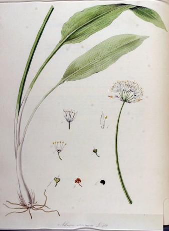 Allium_ursinum_—_Flora_Batava_—_Volume_v11