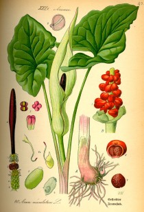 Illustration_Arum_maculatum0