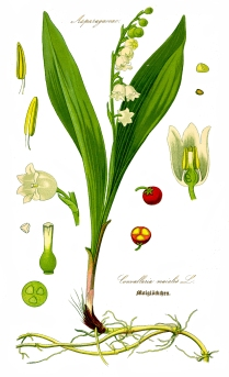 Illustration_Convallaria_majalis0a