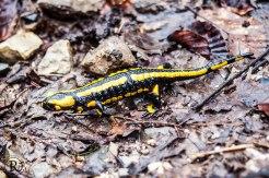 Salamander im Maerz