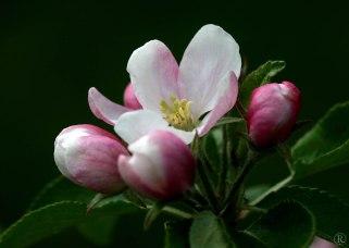 rosa Apfelbluete