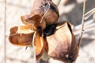 Der Strand von Chiclana de la Frontera - Samenkapsel Lilie