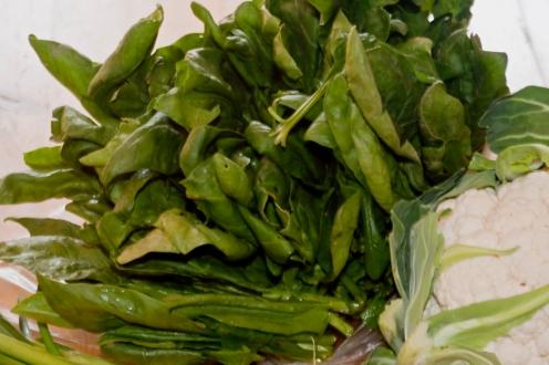 Spinat im Herbst, da müssen die harten Blattstiele entfernt werden