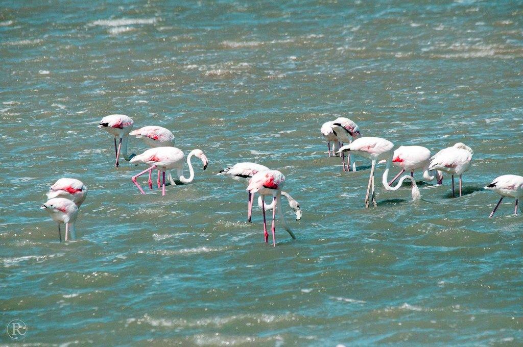 3. Etappe Suedfrankreich - Naturpark Camarque - Flamingos