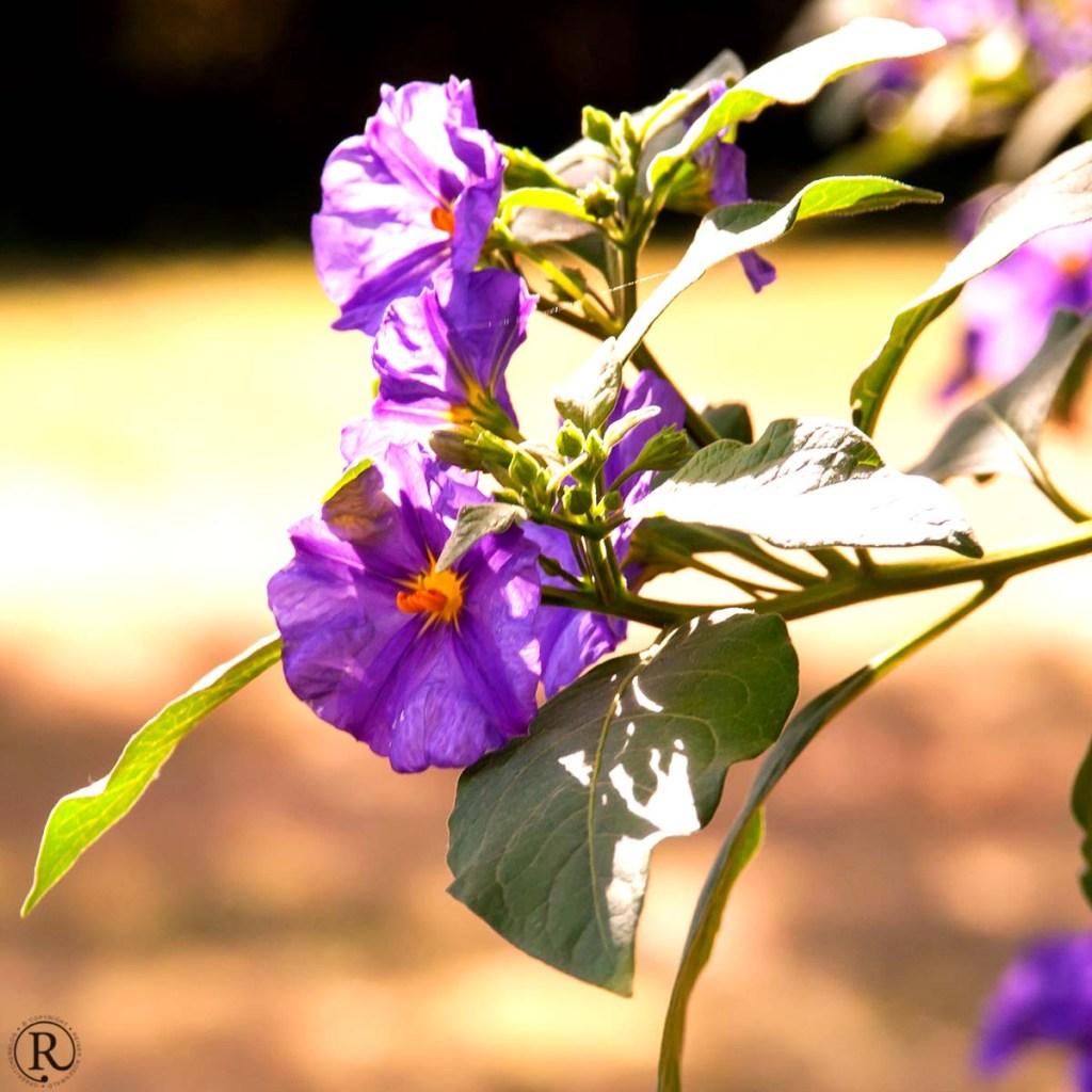 Gaillac Tarn lila Blüte
