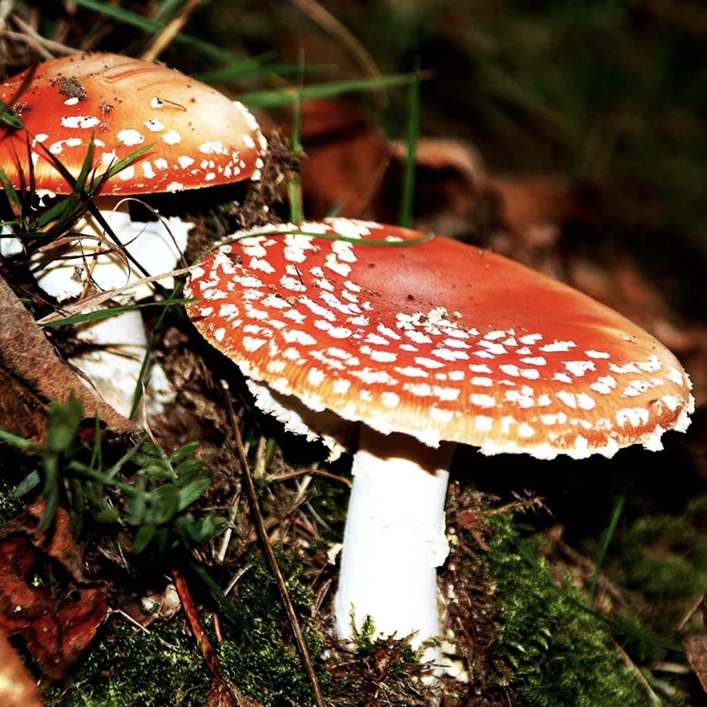 Fliegenpilze im Wald bei Baden-Baden, hübsch aber giftig - Rot ist Signal- und Warnfarbe